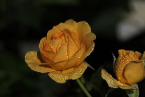 damp roses by mf122792