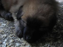 German Shepherd Puppies 15 by Buchanchem