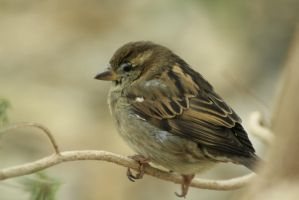 Resident Sparrow by Tinap