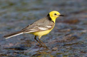 Citrine Wagtail by Jamie-MacArthur