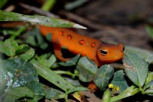 Red Eft by mozella78
