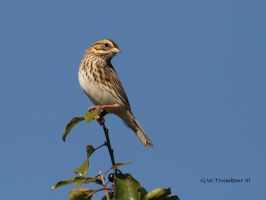 Song Sparrow by natureguy