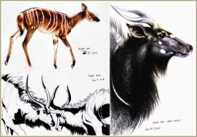 Nyala colour sketches by wheresmytea