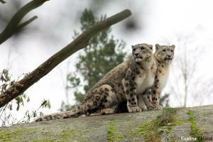 Snow Leopards by eweliina
