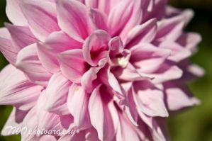 Pink Flower by TWOphotography