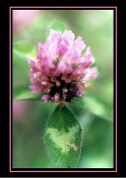 Clover Flower by RavenPhotography