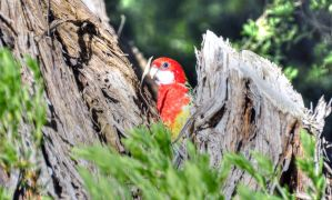 Rosella In Tree by djzontheball