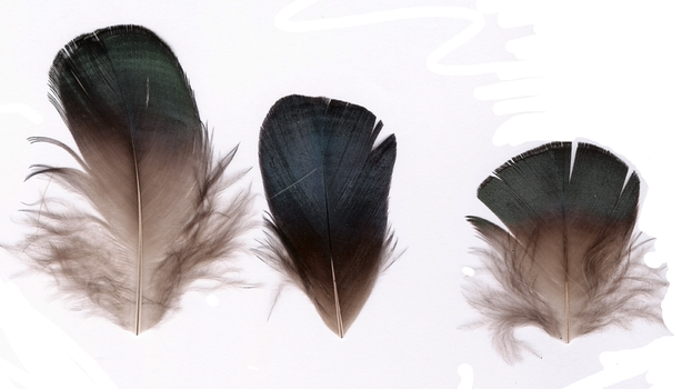Pheasant feathers 2 by moondragonwings