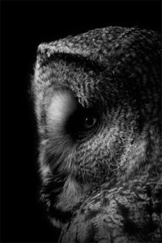 Great Grey Owl by MaX-DooM