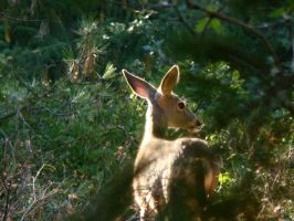Cascades Deer by Geotripper
