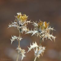 Couple of thistles by Jorapache