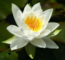 The water lily by SiostraWaleta