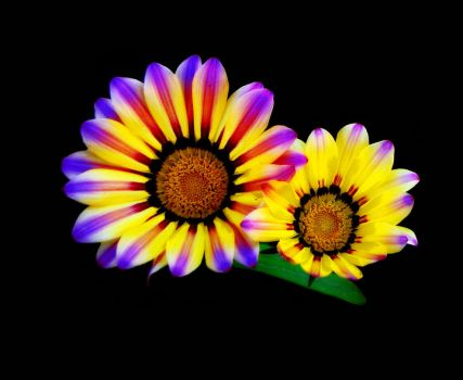 Multicolor Gazania by SaimGraphics