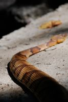 Copperhead by touchthetruth