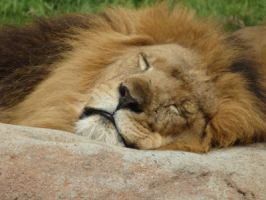 The lion sleeps tonight by CrystaltheEchidna