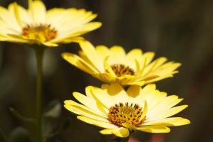 Yellow Flowers by wdsphotos