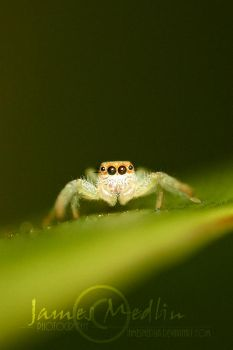 jumping spider 62 by JamesMedlin