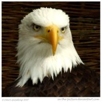 Bald Eagle II by In-the-picture