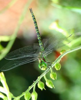 Dragonfly. by heartofhealing