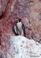 Peregrine Falcon by ClymberPaddler