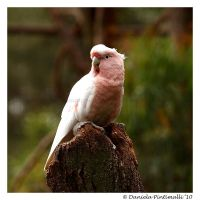 Major Mitchells Cockatoo II by TVD-Photography
