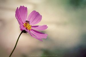 Cosmos by nhuthanh