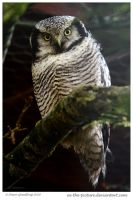 Hawk Owl by In-the-picture
