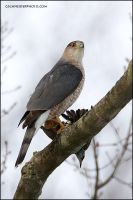 Cooper's Hawk with Starling by gregster09