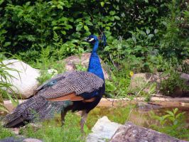 Peacock by Pond by gloriagypsy