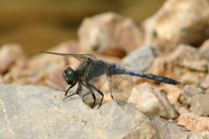 bored dragonfly by beloutte