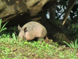 Costa Rica: Nine-banded Armadillo by emilyg2014