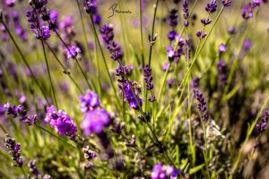 Lavender 2 by KingPinPhotography