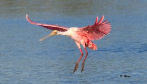 Roseate Spoonbill by Grouper