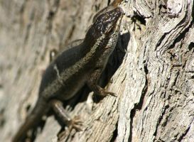 Lizard3 - Namibia by kyleusher