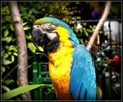 Blue and Yellow Macaw by Michelle-xD