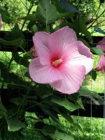 Giant Hibiscus by FireKat