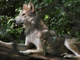 Mexican Wolf Stock 5 by HOTNStock