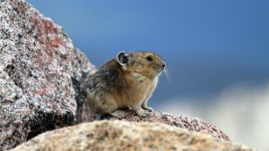 American Pika Colorado 2010 by artbor