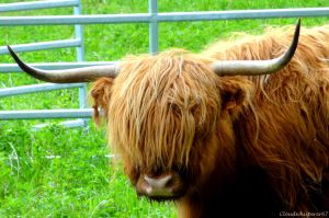 Highland Cattle: the coolest cow on earth! by Cloudwhisperer67