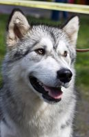 Malamute Barry by Thindomedel
