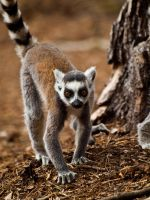 Ring Tailed Lemur 03 - July 11 by mszafran