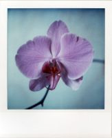 An Orchid's Debut by futurowoman