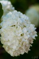 Snowball Blossom by Merlinman50