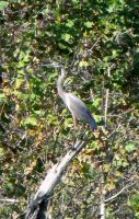 Heron in a Tree by MorganCG
