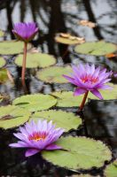 Water Lilies are my favorite by littlerobin87