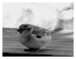 Sparrow by Pecetta