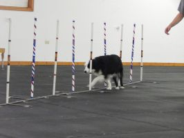 Dog Agility 2 by siroccoimages