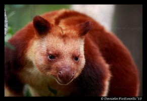 Tree Kangaroo Portrait II by TVD-Photography