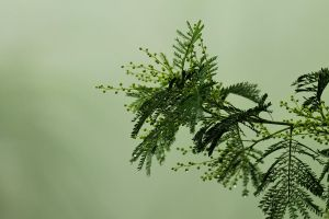 Mist and wattle by Dryad-8