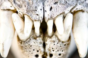 Elephant Seal Dentition by Elijah-Snow